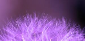 Purple Dandelion Scent of flowers