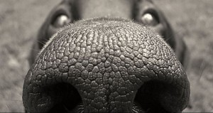 Nose of a dog
